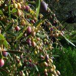 greybe-greek-olives