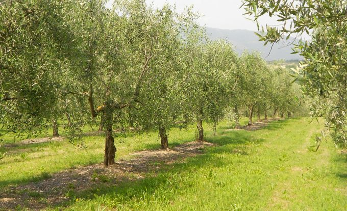 Frescabaldi olive oil groves