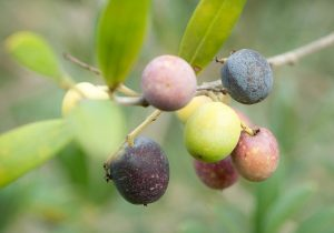 Olives ready to pick for Mother Garden Evoo