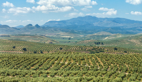 Typical Jean countryside.olive groves of Castillo de Canena
