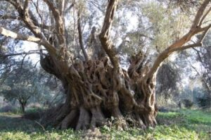 Very old olive treess at Rovies